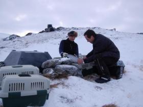 Utsetting av fjellrev i Snøhetta