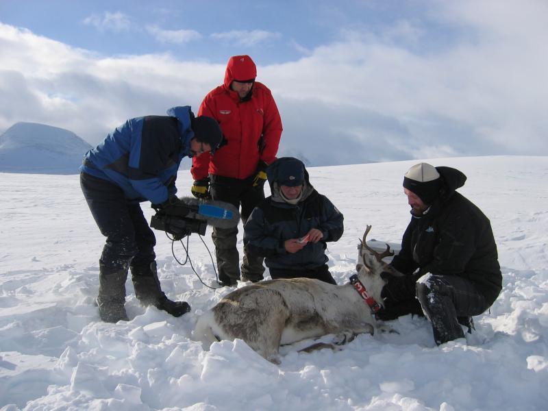 Villreinmerking i Snøhetta