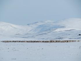 Villrein i området ved Snøhetta